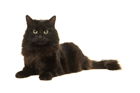 Pretty long haired black cat lying on the floor facing the camera isolated on a white background
