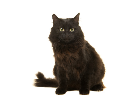 Pretty long haired black cat sitting facing the camera isolated on a white background Stock Photo
