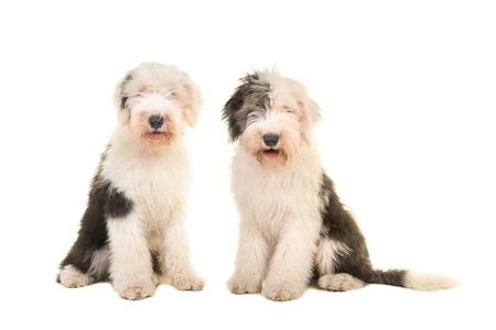 2 座っている若い大人英語牧羊犬白い背景に分離カメラ目線