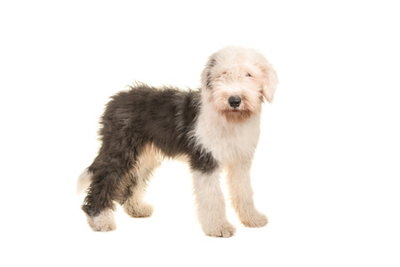 Old english sheep dog young adult standing seen from the side isolated on a white background