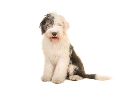 Old english sheep dog young adult sitting and facing the camera isolated on a white background