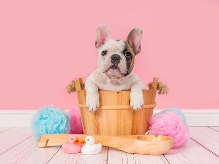 Cute french bulldog puppy in a wooden sauna bucket in a pink bathroom setting facing the camera Archivio Fotografico