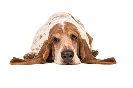 Adult basset hound lying down with its head on the floor seen from the front isolated on a white background Stock Photo - 81416388