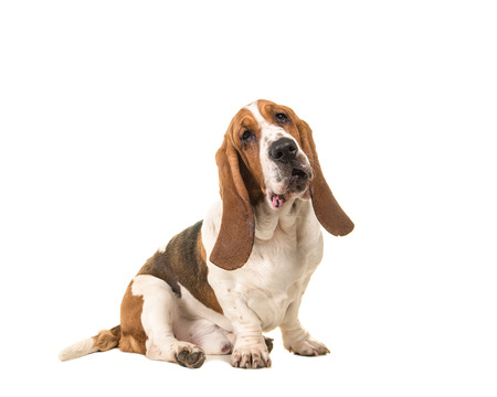 Cute young adult basset hound sitting and facing the camera seen from the side isolated on a white background Stock Photo