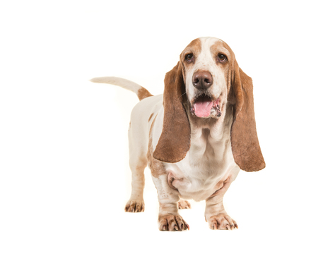 basset: Cute young adult basset hound standing isolated on a white background