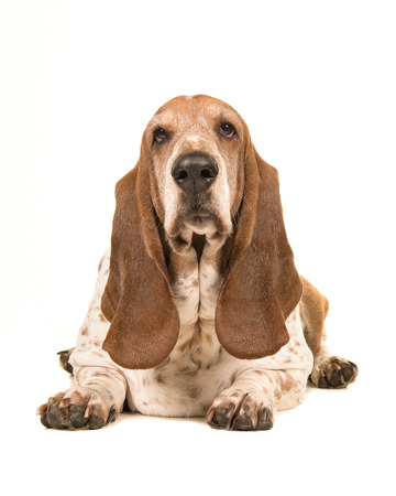 front facing: Adult basset hound lying down facing the camera seen from the front isolated on a white background Stock Photo