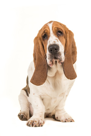 Cute young adult basset hound sitting and facing the camera  isolated on a white background Stock Photo - 81416461