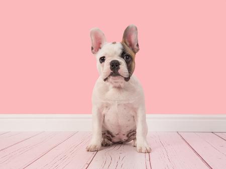 Joli chiot bouledogue français, blanc et marron, assis dans un salon rose en face de