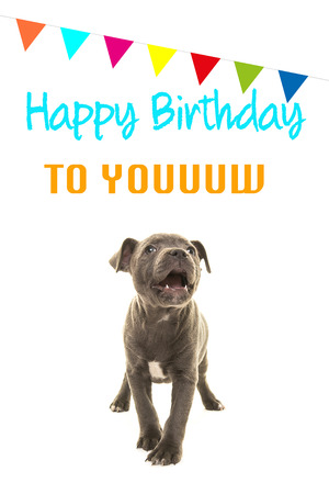Cute Grey Stafford Terrier Puppy Dog Singing Happy Birthday To