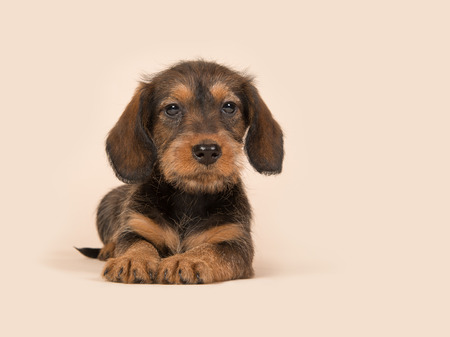 Cute brown dachshund puppy lying downs on a creme background facing the camera Stock Photo