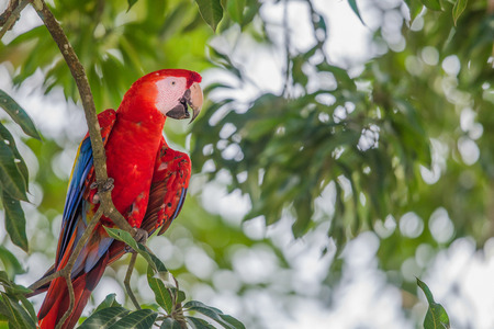 Red macaw parrot resting on a bench in the trees Stock Photo