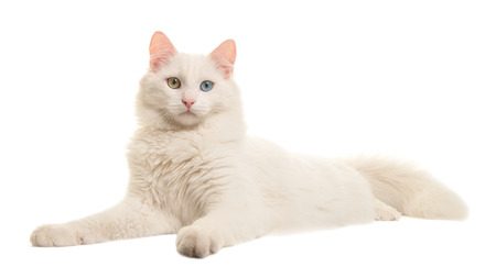 White turkish angora odd eye cat lying down seen from the side looking at the camera isolated on a white background Фото со стока - 81416495