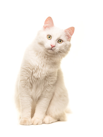 White sitting turkish angora cat sitting and leaning forward to look in the camera isolated on a white background Stockfoto