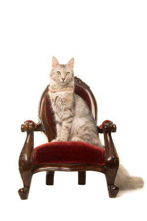 Tabby Turkish angora cat sitting on an antique chair looking at the camera isolated on a white background Stock Photo