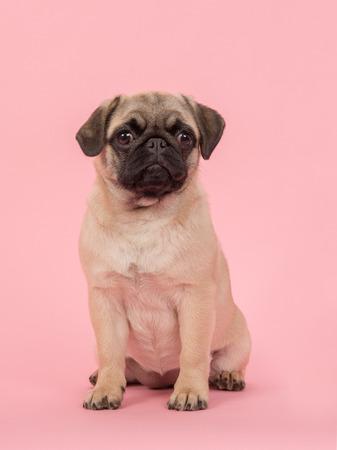 귀여운 젊은 앉아 pug 개가 분홍색 배경에 카메라를 찾고