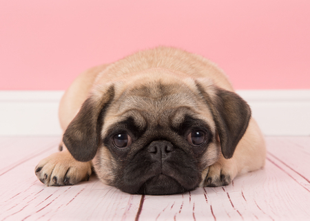 Cute young pug dog lying down with its head on the floor looking at the camera in a pink living room setting
