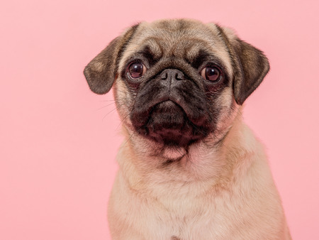 Portrait of a young adult pug looking at the camera on a pink background