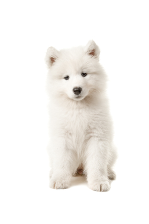 Cute samoyed puppy sitting and looking at the camera isolated on a white background