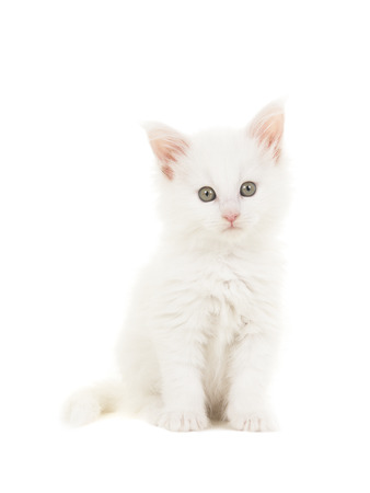 White main coon baby cat kitten sitting at looking at the camera isolated on a white background Фото со стока