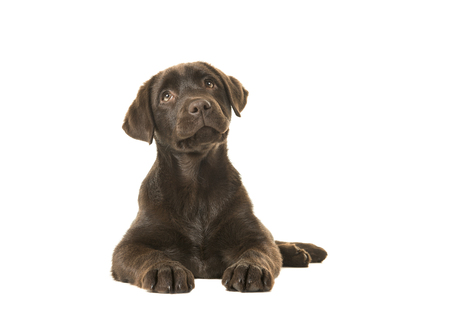 4 months old brown labrador retriever puppy lying down seen from the front, with its paws in front of her and looking up isolated on a white background Stock Photo