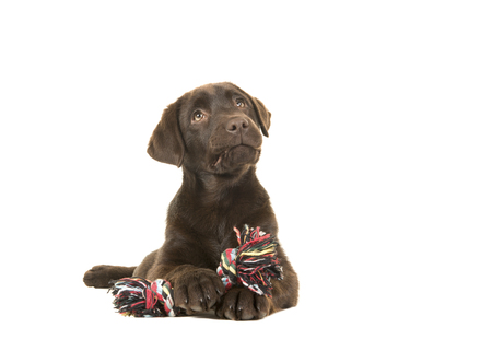 Brown labrador retriever puppy lying down seen from the front, with its paws in front holing a knotted rope bone and looking up isolated on a white background