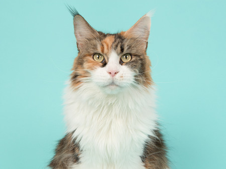 Tortoiseshell main coon cat portrait on a blue background