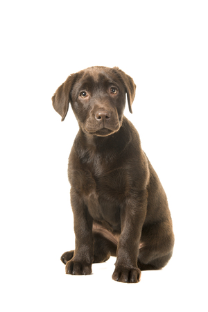 Sitting brown 4 monts old labrador retreiver puppy looking at the camera isolated on a white background Stock Photo