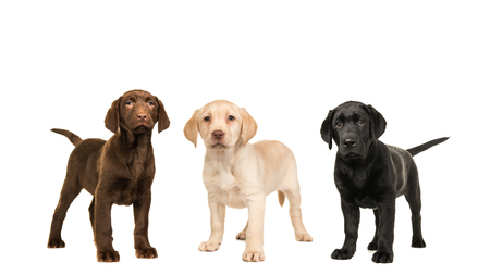 Three standing labrador puppy dogs in the official colors, brown, black, blond isolated on a white background