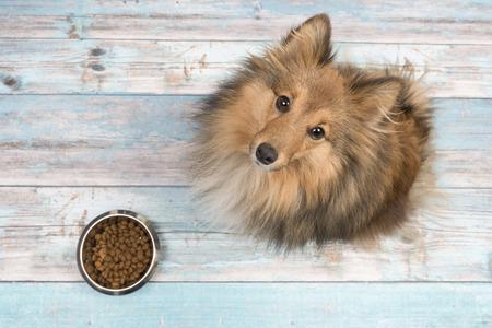 Chien de berger shetland adulte vu d'en haut regardant avec un bol d'alimentation plein devant elle sur un plancher en bois bleu