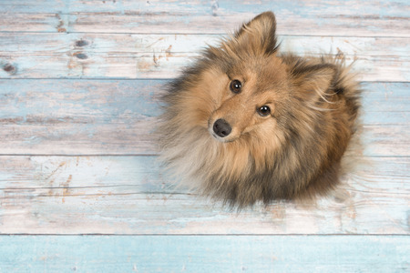 Adult shetland sheepdog seen from above looking up on a blue scaffolding wooden floor