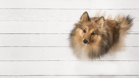 Adult shetland sheepdog seen from above sitting and looking up on a white wooden planks floor on the right side of the image with space for text on the left of the image Stock Photo