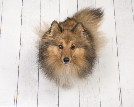Adult shetland sheepdog seen from above sitting and looking up on a white wooden planks floor