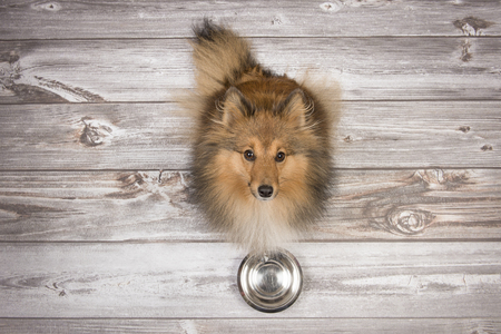 Adult shetland sheepdog seen from above sitting and looking up on a brown wooden planks floor with an empty feeding bowl in front of her Stock Photo