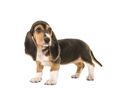 basset: Standing basset artesien normand puppy seen from the side looking back isolated on a white background