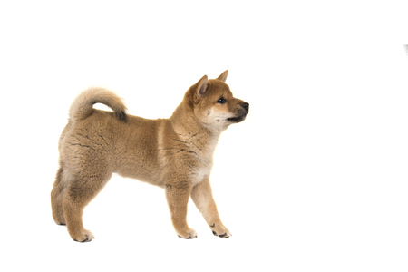 Shiba Inu puppy dog standing seen from the side looking up solated on a white background Stock Photo
