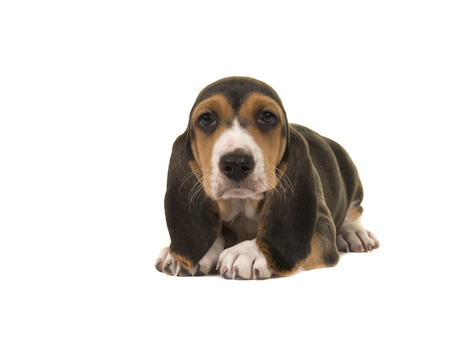 basset: Cute basset artesien normand puppy lying on the floor isolated on a white background Stock Photo