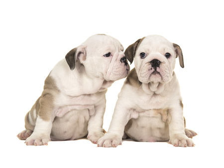 Two cute brown and white english bulldog puppy dogs sitting together one looking at the camera one looking at the other puppy like whispering in its ear isolated on a white background Stock Photo