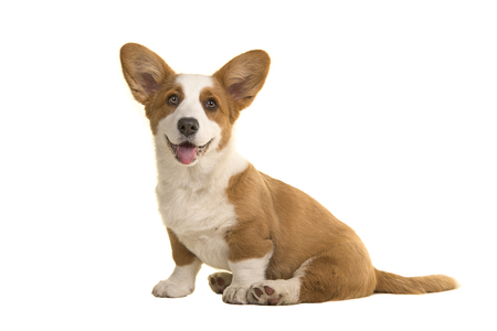 Cute smiling sitting welsh corgi puppy facing the camera isolated on a white background