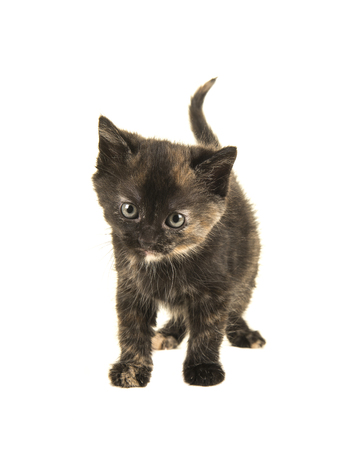 Tortoiseshell baby cat walking towards the camera with her tail up isolated on a white background