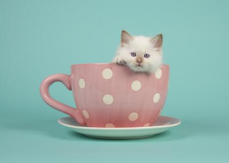귀여운 6 주 오래 된 헝겊 인형 아기 고양이 분홍색과 흰색의 점선 컵 및 접시와 청록색 파란색 배경 가장자리에 매달려 파란 눈