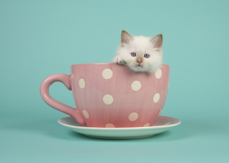 over the edge: Cute 6 weeks old rag doll baby cat with blue eyes hanging over the edge of a pink and white dotted cup and saucer and a turquoise blue background