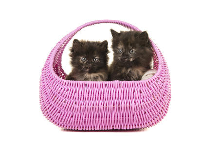 Two tortoiseshell kittens together in a pink basket isolated on a white background Stock Photo