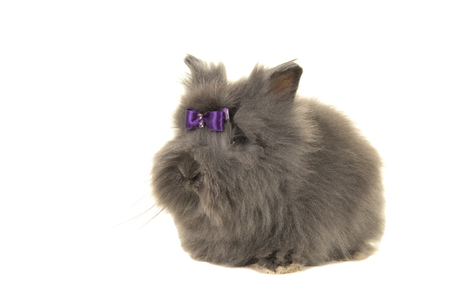 Grey long haired angora rabbit isolated on a white background