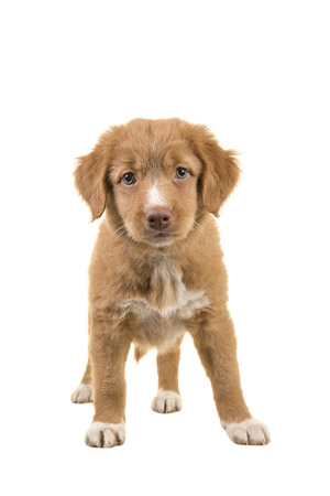 front facing: Cute standing nova scotia duck tolling retriever puppy facing the camera seen from the front isolated on a white background