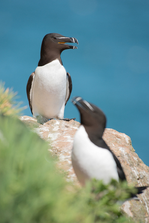 Two black and white razorbills on a cliff with the blue sea on the background