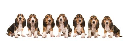 흰색 배경에 고립 된 서로 옆에 행에 앉아 7 바 셋 artesien normand 강아지의 쓰레기