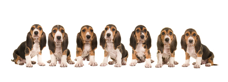 Litter of 7 basset artesien normand puppy dogs sitting in a row next to each other isolated on a white background Stock Photo