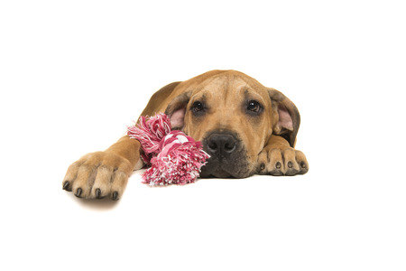 boerboel dog: Young boerboel or South African mastiff seen from the front lying down holding on a pink and white woven rope toy on a white background