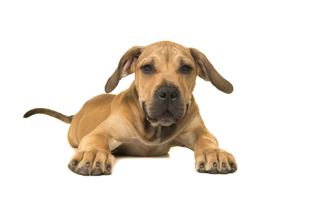 Cute boerboel or South African mastiff young female dog with tail lying down and facing the camera on a white background seen from the front