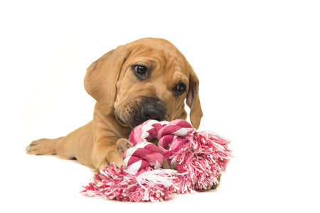 boerboel dog: Cute boerboel or South African mastiff puppy lying down chewing on a pink and white woven rope toy on a white background Stock Photo